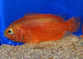 Albino Red Oscar Live Freshwater Aquarium Fish