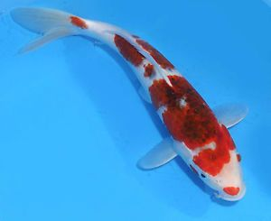 "Live Koi Pond Fish Large High Quality 11"" AI Goromo Female Koibay"
